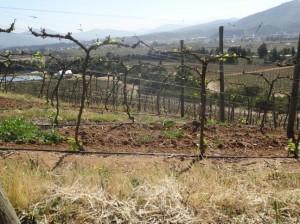 Frost damaged vineyard