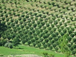 Hazelnut trees at Ceretto