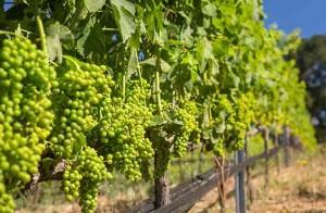 A Vineyard Hike and Tasting at Big Basin Vineyards