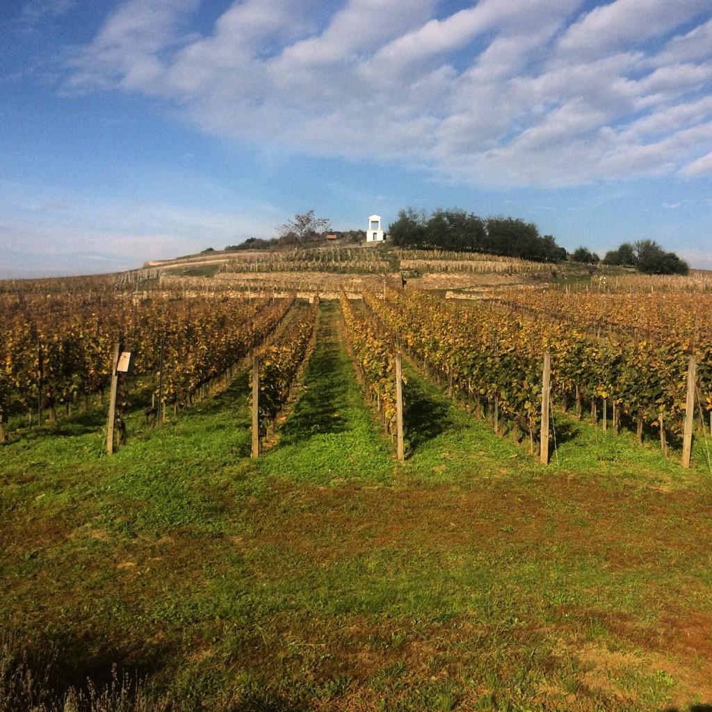 Furmint vineyards at Disznókó winery in Tokaji.